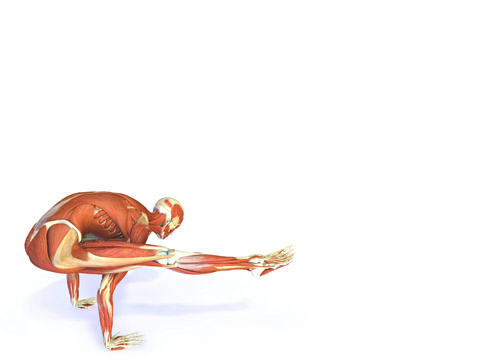 the key muscles of yoga your guide to functional anatomy in yoga